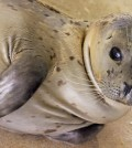Sheldon a baby Harbor Seal joins Gulf World Family.